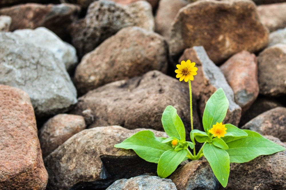 Flower growing in rocks